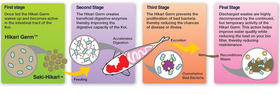 hikari-germ-stages.jpg